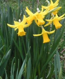 Daffodils huddled together for warmth in this frozen month of March