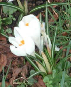 Crocus pushing through the cold