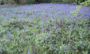 Bluebell field at Winterbourne Gardens