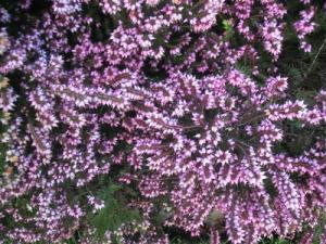 Purple Heather
