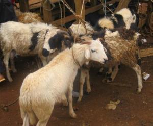 Goats at Kumbo's livestock market
