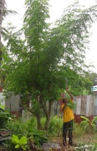 harvesting moringa leaves