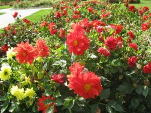 Autumn dahlias in Rookery park