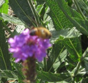 Bees gathering nectar. A reminder that there is still sweetness in my life.